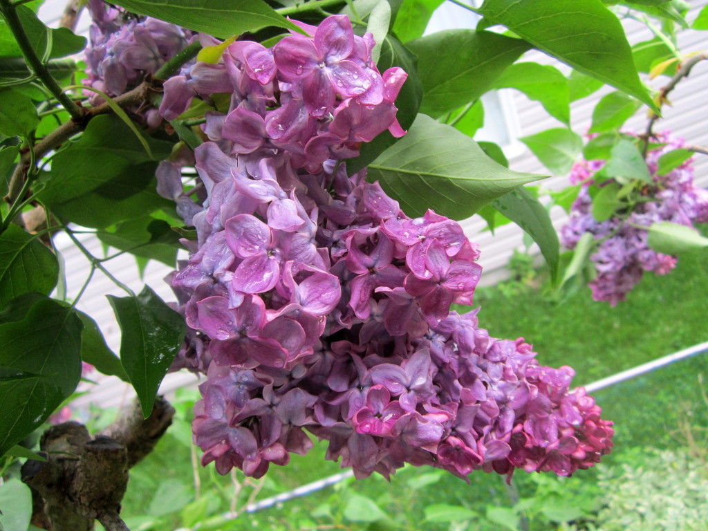 Double bloom lilac by bruni