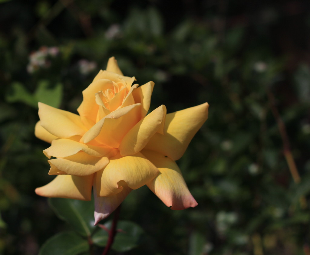 The Cliff Richard rose by busylady