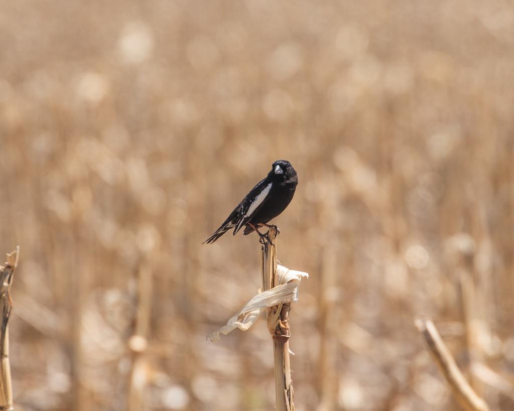 lark bunting by aecasey