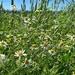 Petites fleurs des champs.