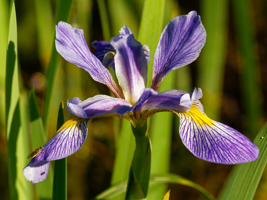 southern blue flag iris by rminer