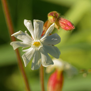 31st May 2020 - white campion