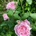 David Austin old fashioned rose.. This Sceptered Isle