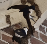 13th May 2020 - house martins