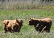 17th May 2020 - highlanders cows