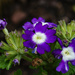 Purple and white bedding plant