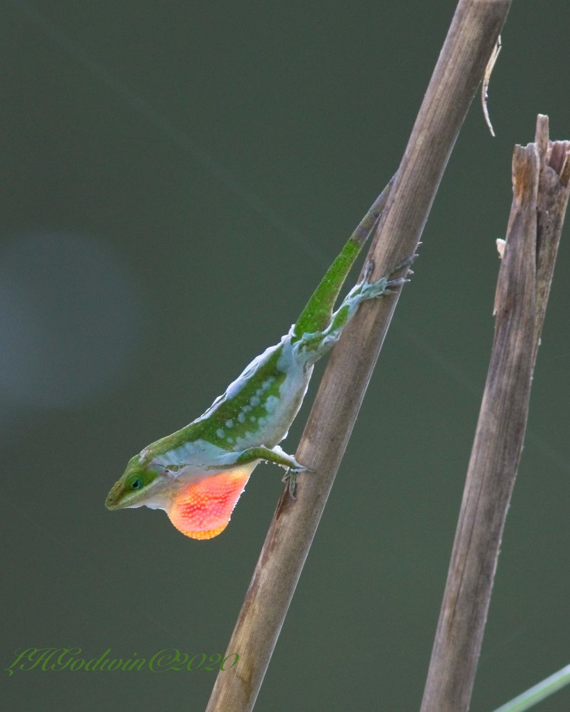 LHG-6110 shedding anole  by rontu