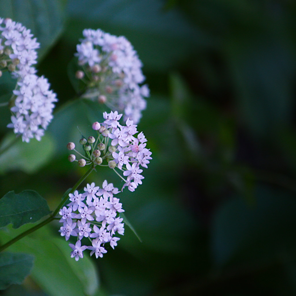 Four leaved milk weed by francoise