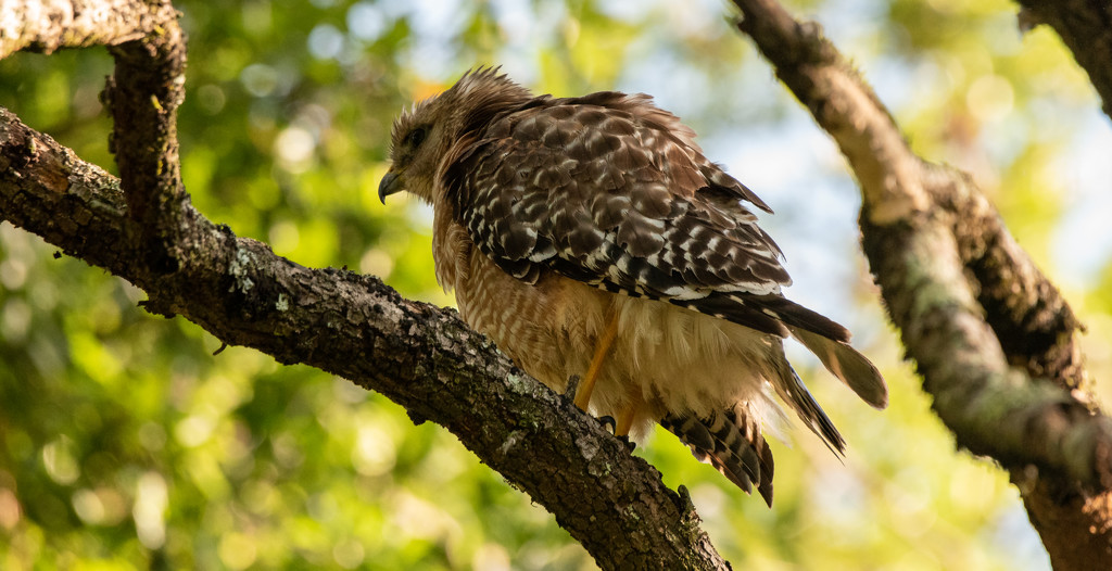 Red Shouldered Hawk All Fluffed Up! by rickster549