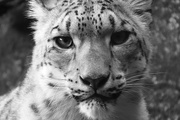 31st May 2020 - Snow Leopard