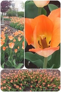 31st May 2020 - Tulips