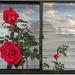 Mums Roses II