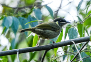 22nd May 2020 - Juvenile Lewin's honeyeater - I think