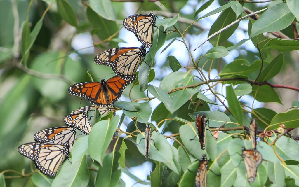 Wanderer butterflies by hrs