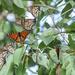 Wanderer butterflies