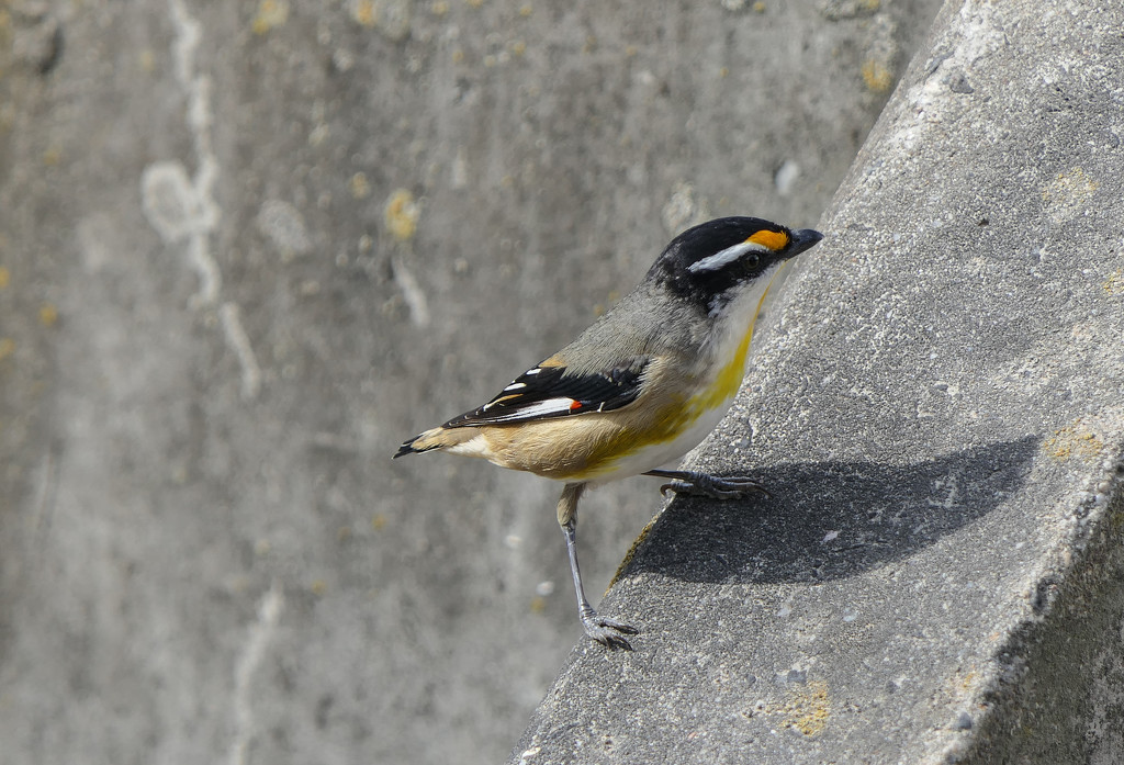 a Well Spotted Pardelote by hrs
