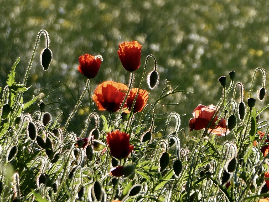 I love poppies by orchid99