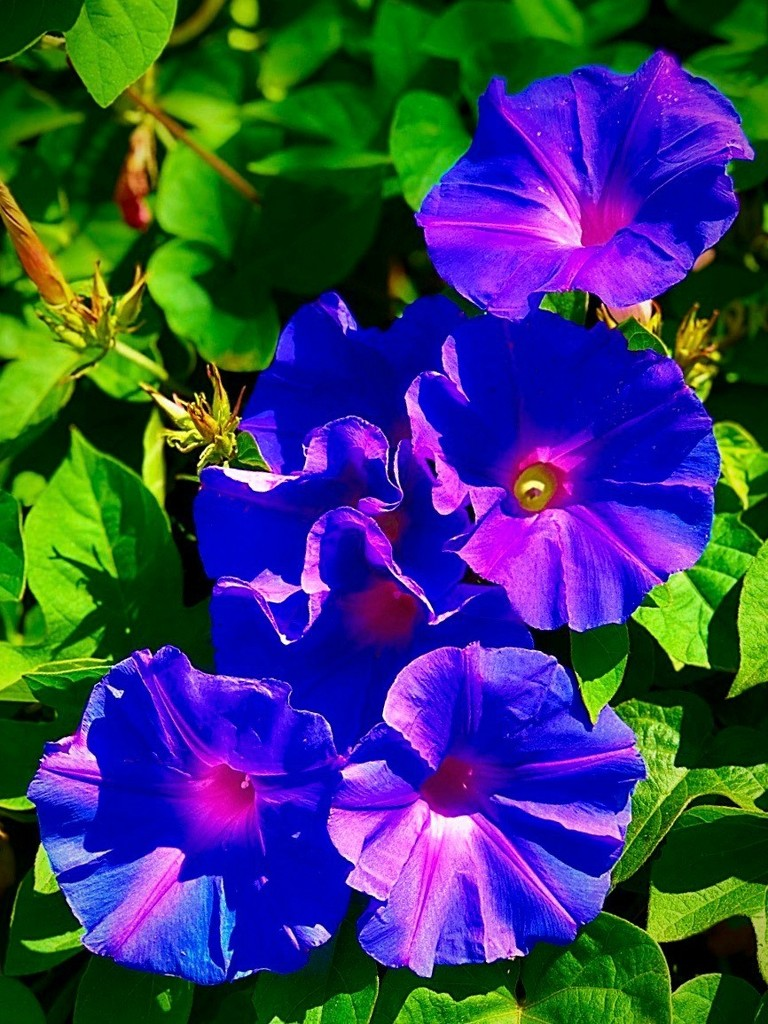 Morning Glory by gardenfolk