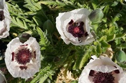 1st Jun 2020 - Papaver Orientale Royal Wedding