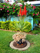 1st Jun 2020 - My Red Hot Poker is now fully in bloom
