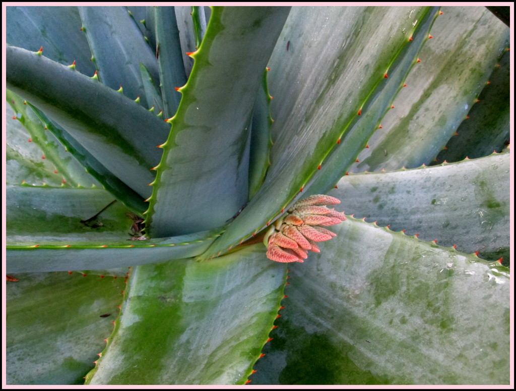 Looks like a hand, but it is the beginning of a wonderful Red hot Poker by 777margo