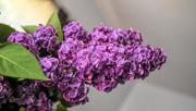 31st May 2020 - Lilacs