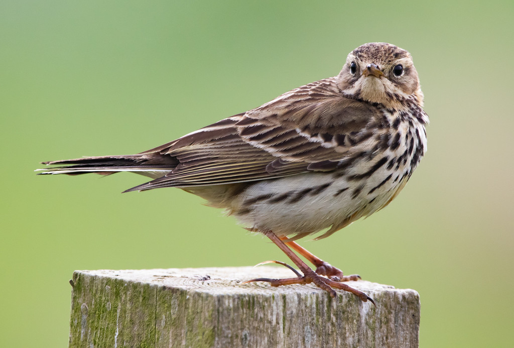 Meadow Pipit by lifeat60degrees