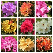 1st Jun 2020 -  Rhododendrons in our Garden