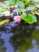1st Jun 2020 - Water lilies