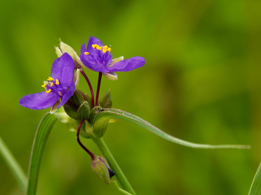Blue jacket spiderwort by rminer