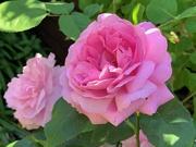 1st Jun 2020 - Mary Rose