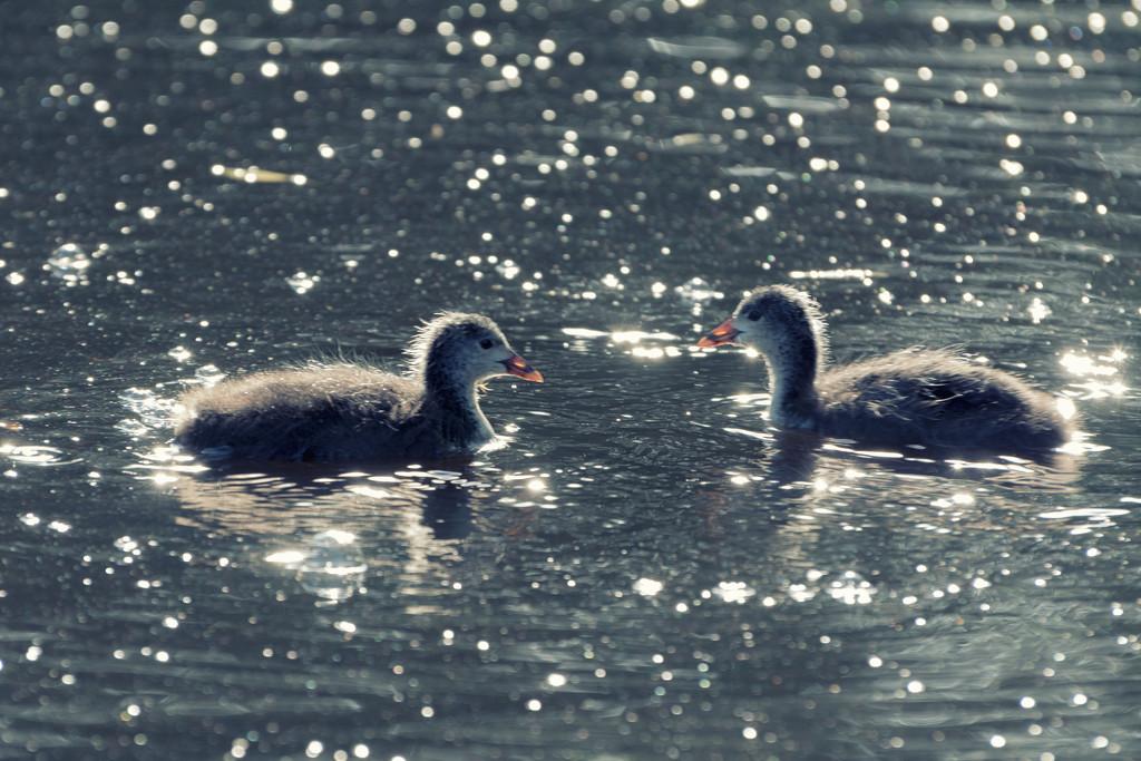 Coot chicks by rumpelstiltskin