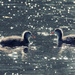 Coot chicks by rumpelstiltskin