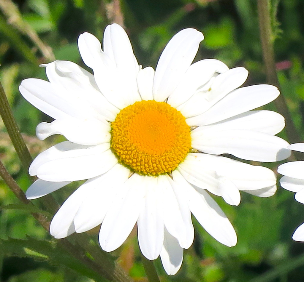 Oxeye Daisy by davemockford