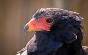 1st Jun 2020 - Bateleur Eagle