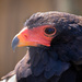 Bateleur Eagle by leonbuys83