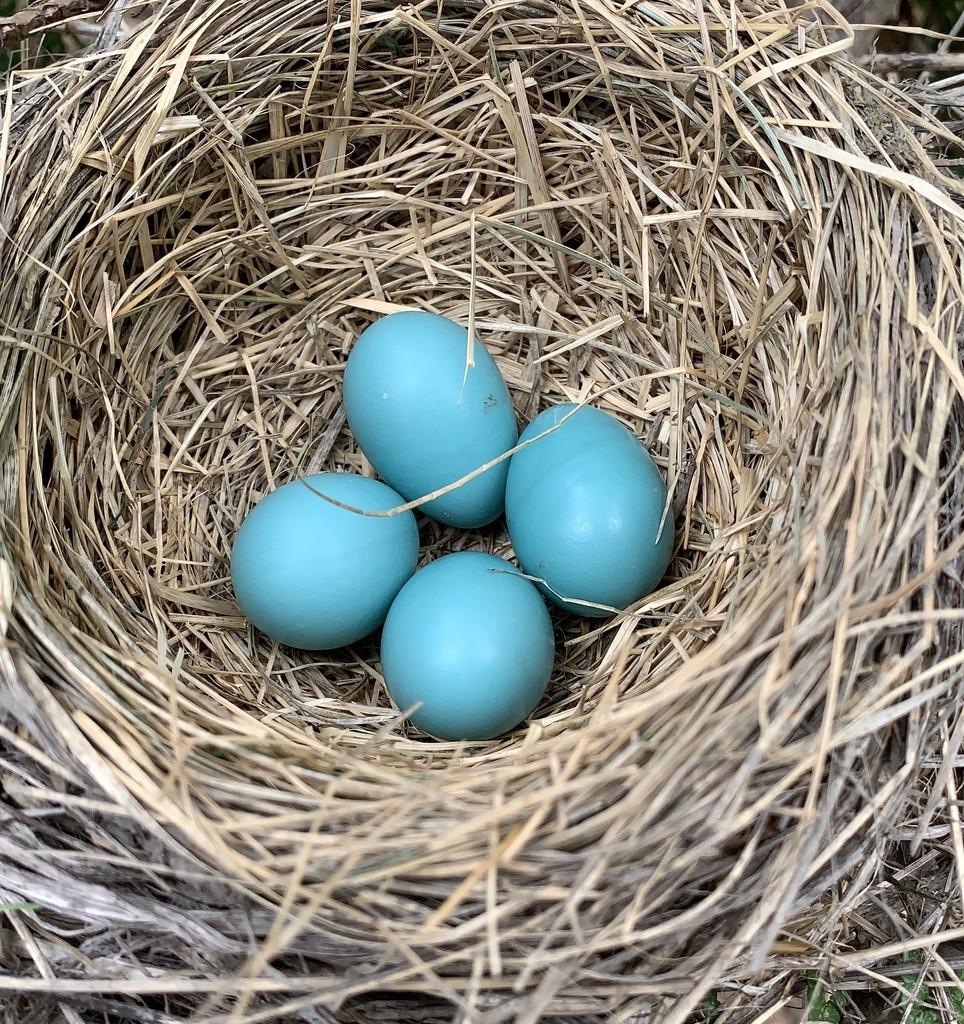 Robin Eggs by radiogirl