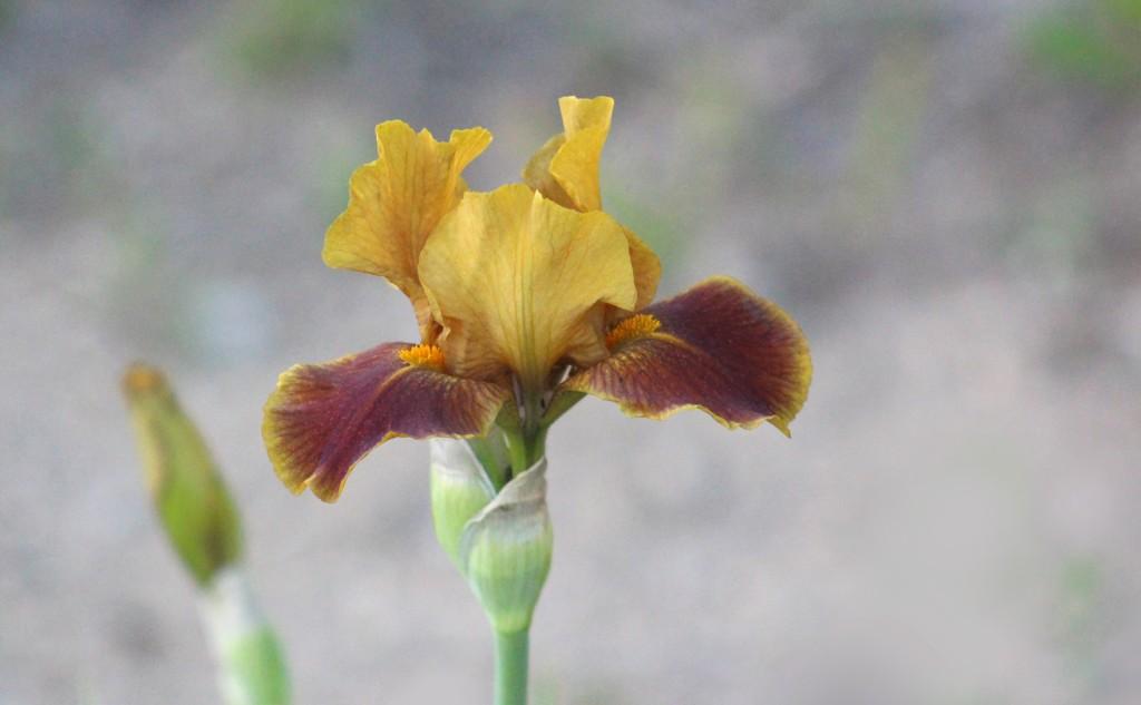 Izetta's Irises by paintdipper
