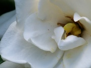 1st Jun 2020 - Inside a gardenia