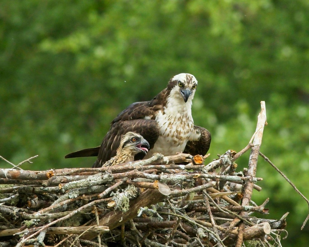 LHG-6751- osprey and her young by rontu