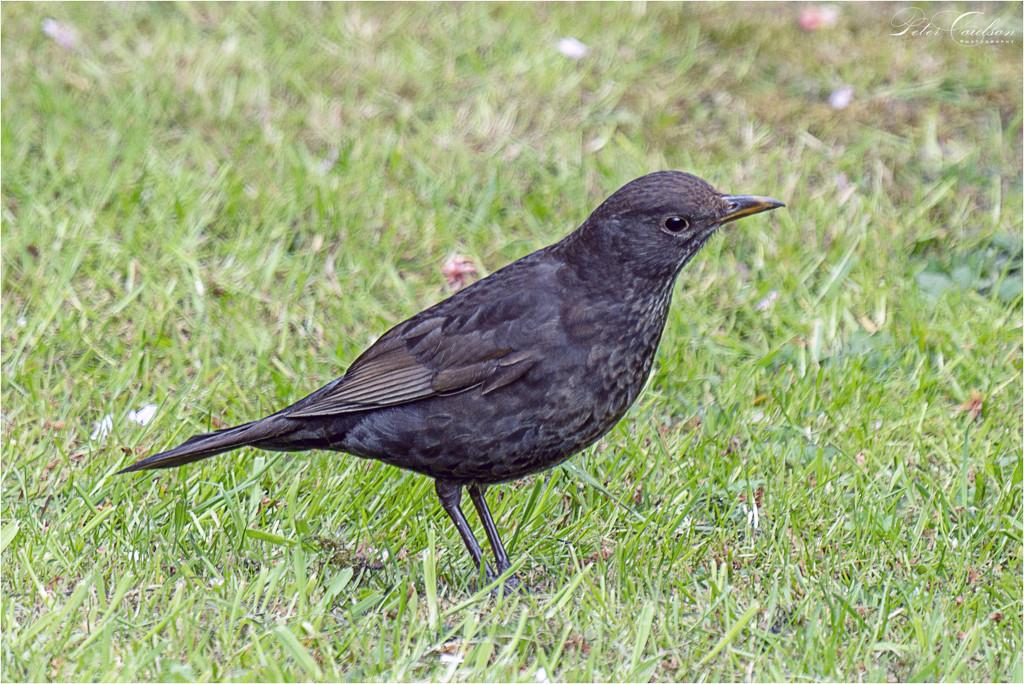 Female Blackbird by pcoulson