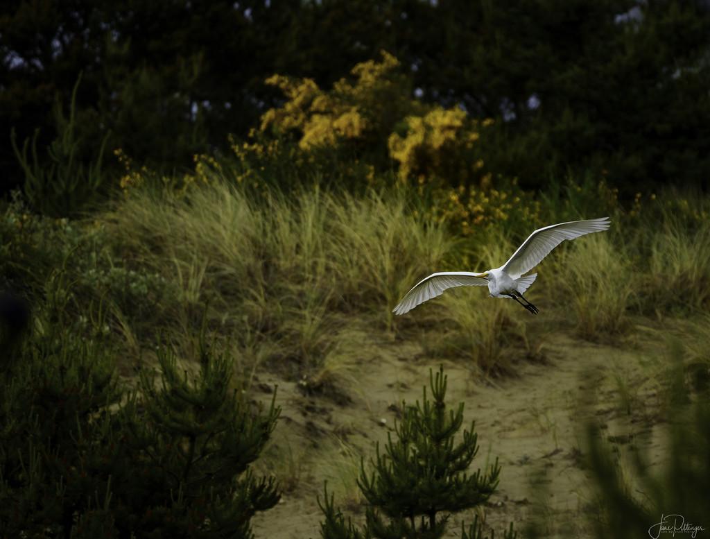 White Egret Flying by jgpittenger