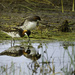 Phalarope Pair Reflected