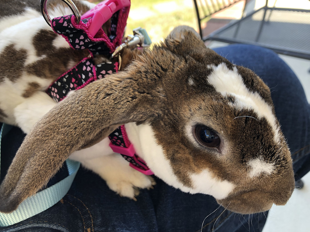 A bunny in a harness by homeschoolmom