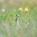 upland sandpiper by aecasey