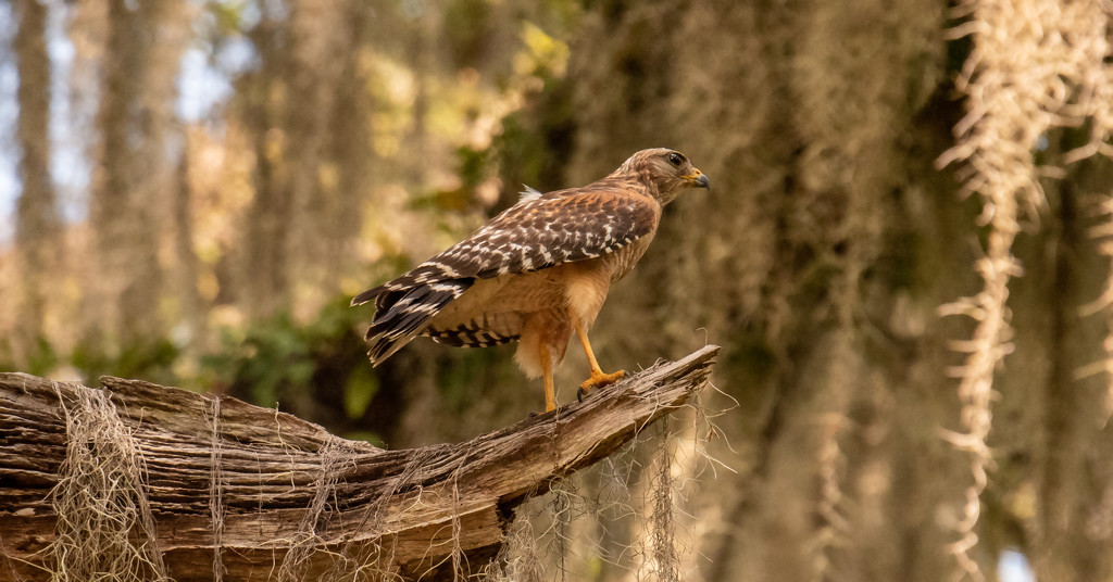 One of Today's Red Shouldered Hawk! by rickster549