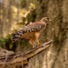 One of Today's Red Shouldered Hawk!
