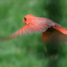 Cardinal in Flight by lsquared