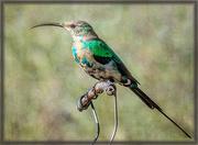 2nd Jun 2020 -  Malachite Sunbird
