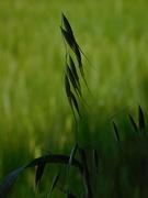 2nd Jun 2020 - Wild oats again